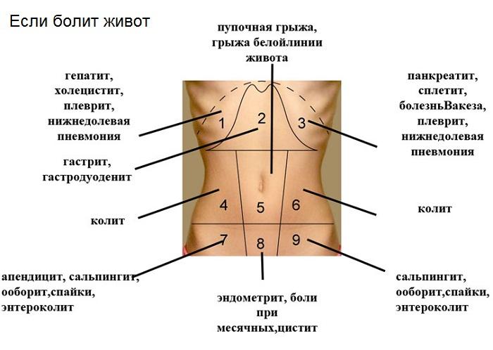Органы и болезни живота