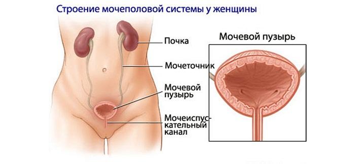 Строение мочевого
